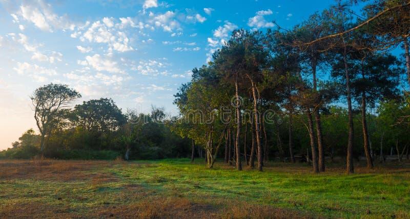 Altos pinos viejos en un claro fotografía de archivo