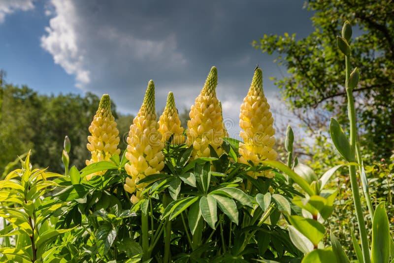 Altramuces amarillos en un jardín fotos de archivo