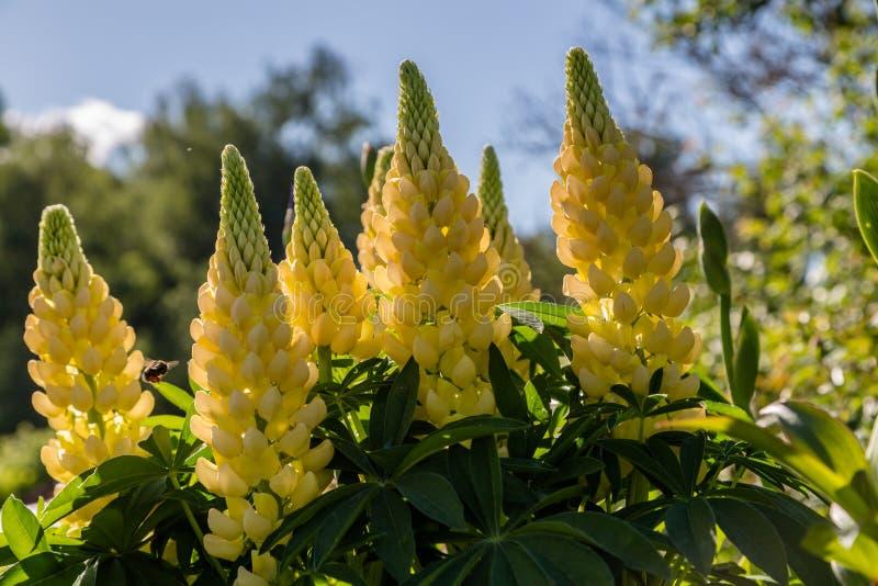 Altramuces amarillos en un jardín imagen de archivo