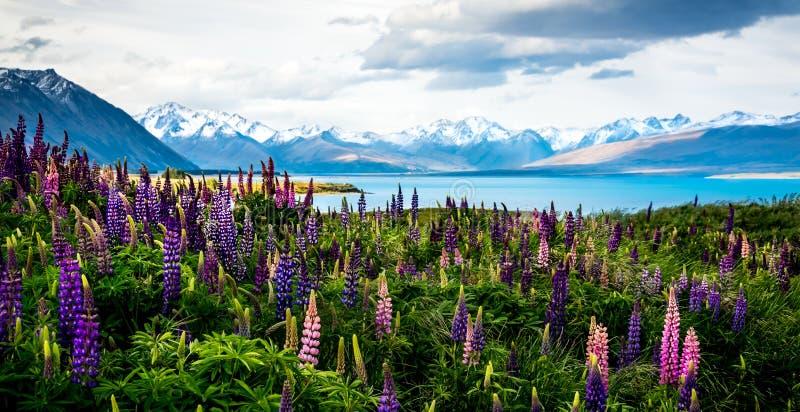 Altramuces florecientes sobre el lago Tekapo imagen de archivo