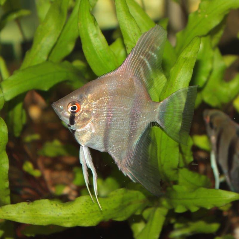 Altum Angelfish Aquarium Fish Royalty Free Stock Image