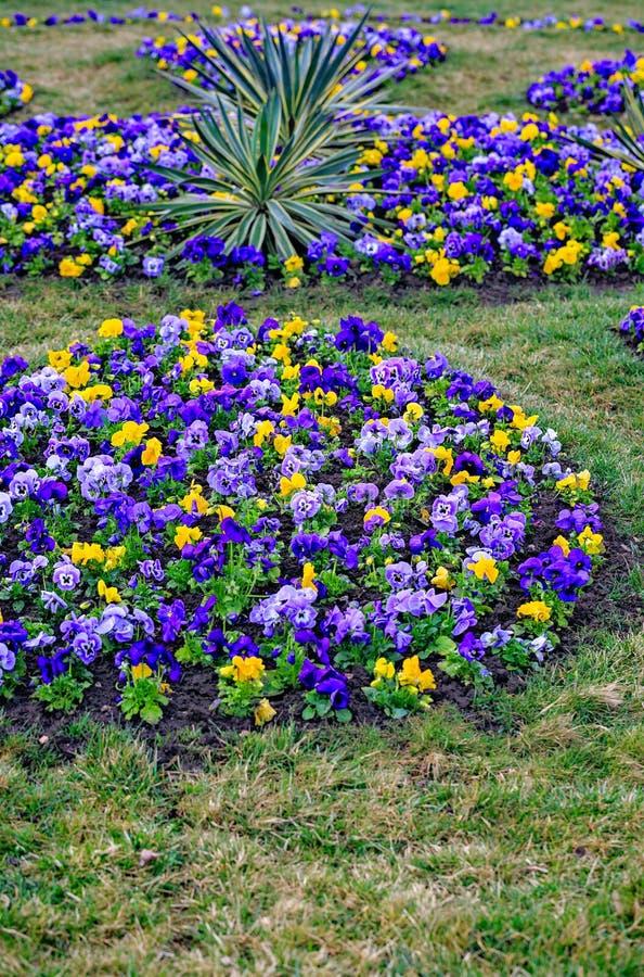 Altvioolcornuta, doorgenaaid viooltje Kleurrijke bloemen van viooltjes royalty-vrije stock afbeeldingen