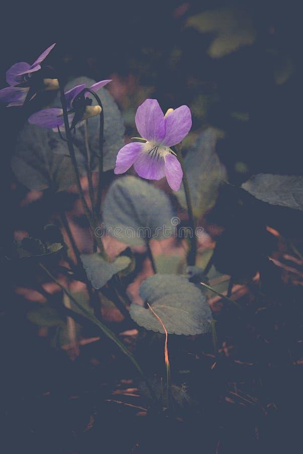 Altvioolodorata bloem die in de lente bloeien stock afbeelding