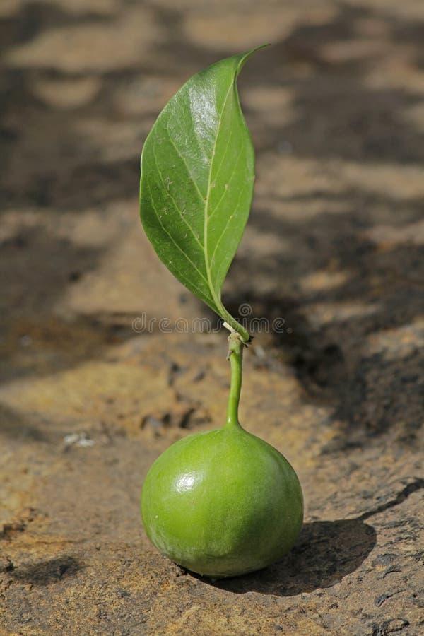 Alu frukt, Vangueriaspinosa royaltyfri foto