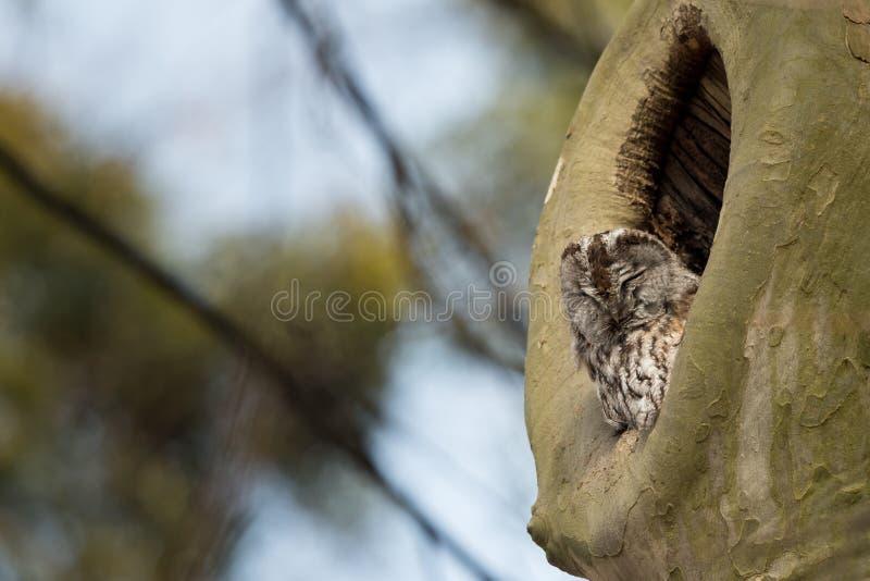 Aluco de Tawny Owl Strix de la jerarquización foto de archivo