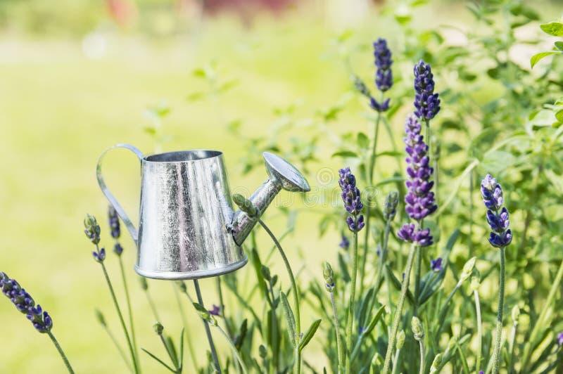 Aluminum watering can in Lavandula plant. Aluminum watering can in Lavandula garden stock photo