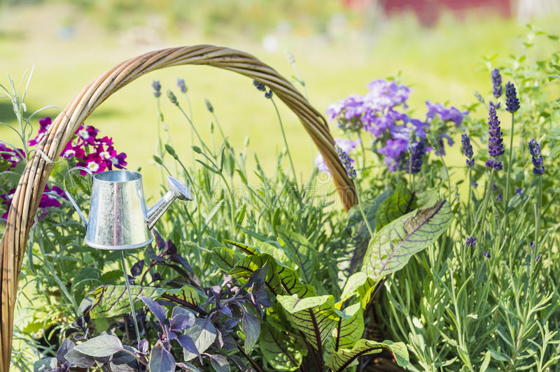 Aluminum watering can in Lavender garden. Outdoor royalty free stock photos