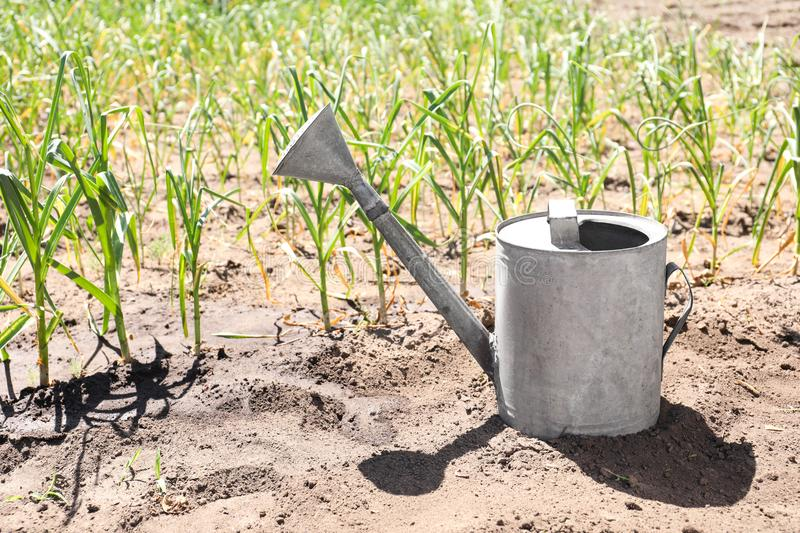 Aluminum watering can near garlic sprouts. In field royalty free stock photos