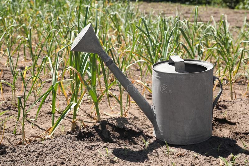 Aluminum watering can near garlic sprouts in field. On sunny day stock photography