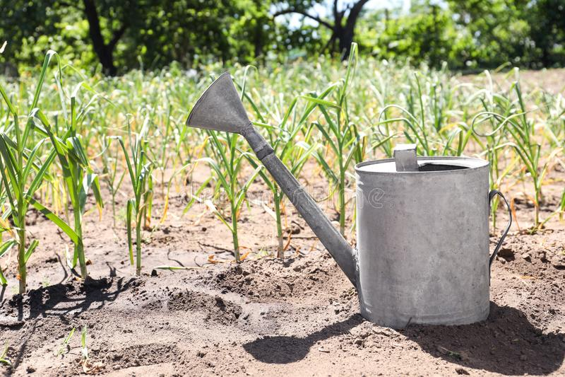 Aluminum watering can near garlic sprouts in field. On sunny day royalty free stock photos