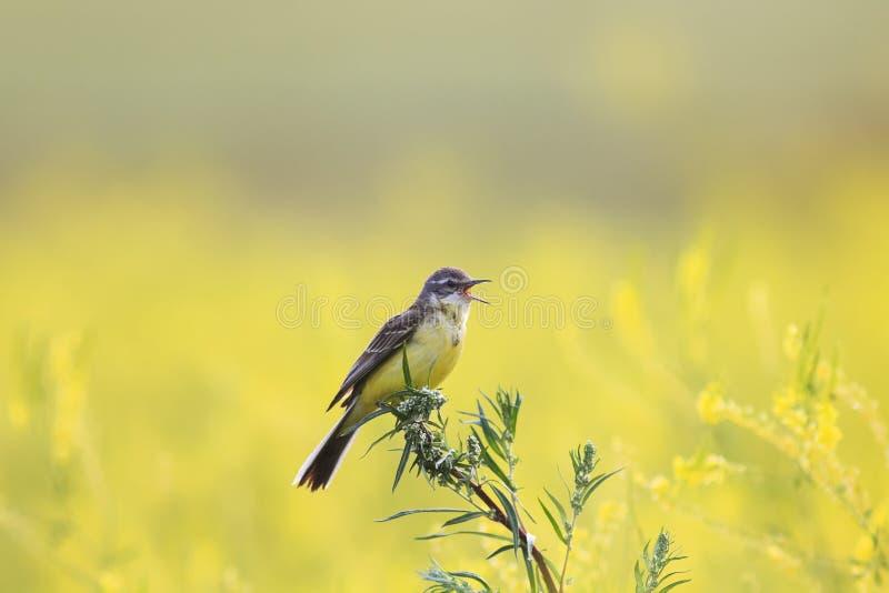 A alvéola amarela do pássaro voou em um prado de florescência do verão e canta foto de stock