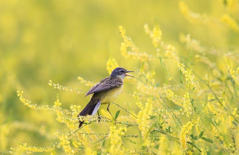alvéola do pássaro que senta-se em um trevo florescido a do prado do verão foto de stock royalty free
