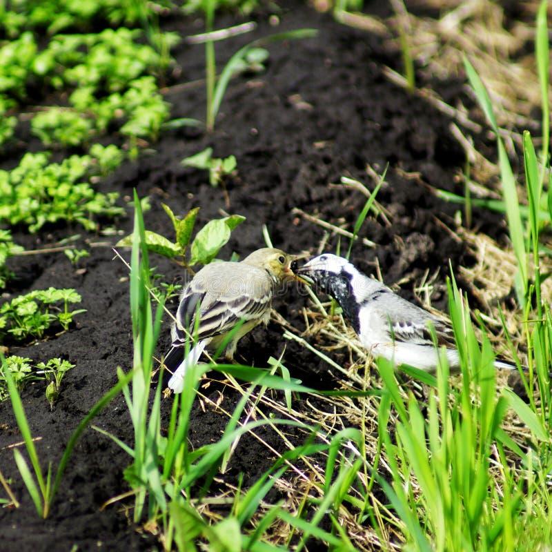 A alvéola está sentando-se na grama Pássaro cinzento na primavera O pássaro olha à direita Um pássaro cinzento pequeno com uma ca imagens de stock royalty free