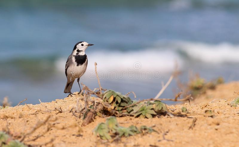 Alvéola que descansa sobre um penhasco ao longo da praia fotos de stock