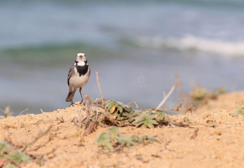Alvéola que descansa sobre um penhasco ao longo da praia foto de stock royalty free