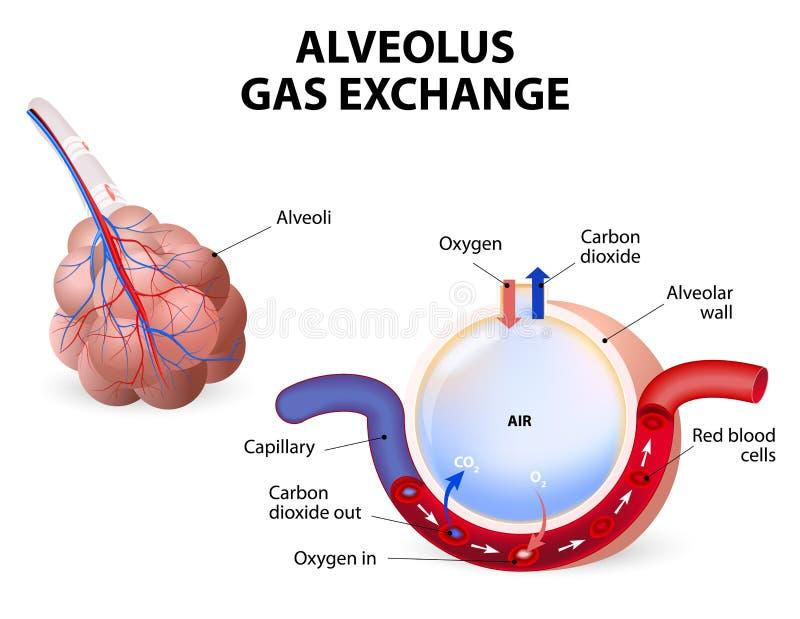 alvéolo Intercambio del gas stock de ilustración