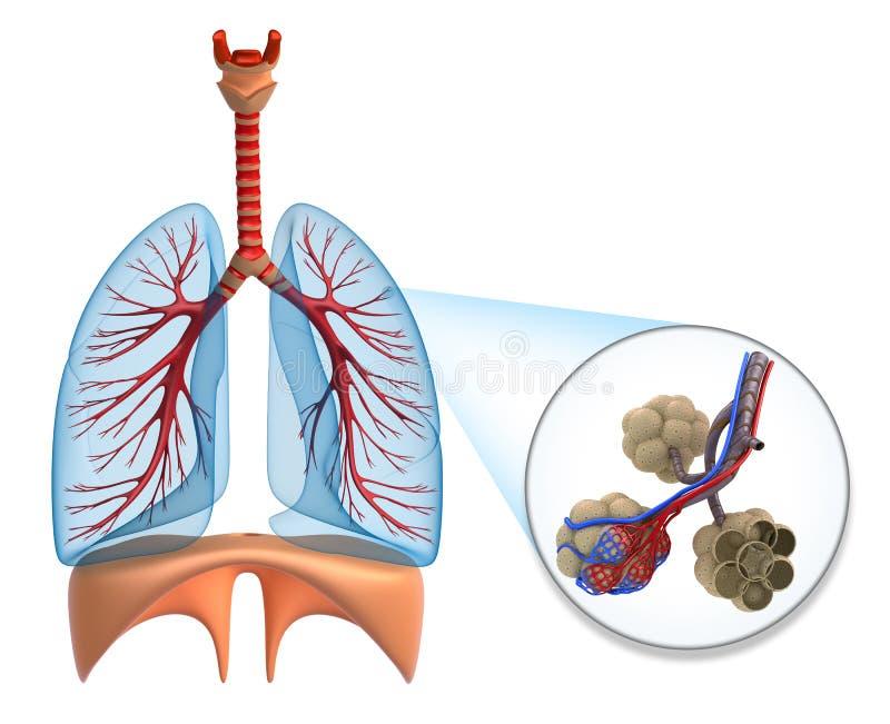 Alvéolos en los pulmones - sangre que satura por el oxígeno ilustración del vector