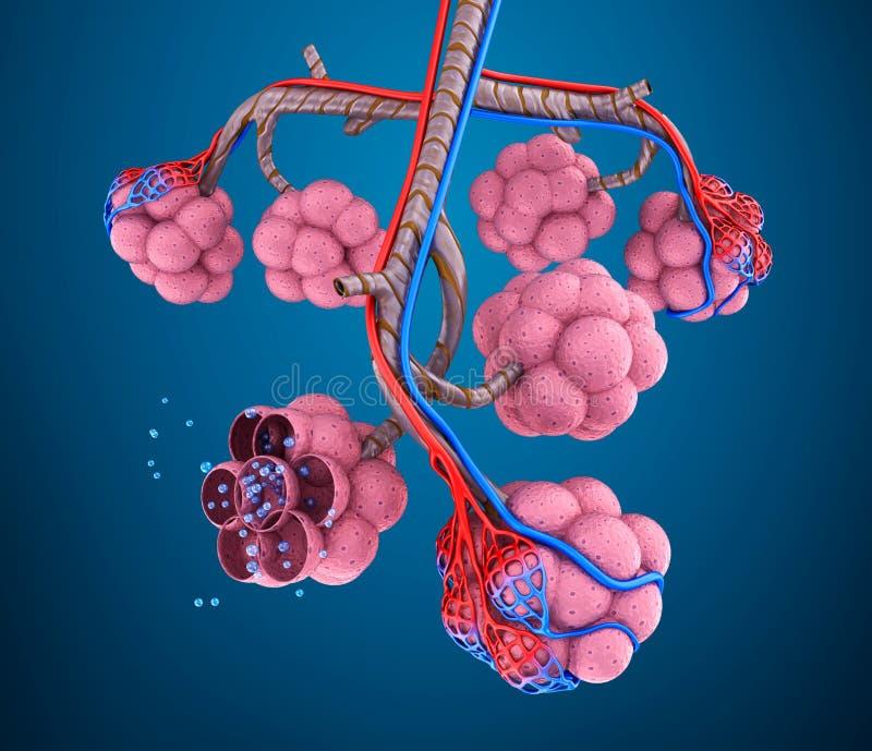 Alvéolos: natomy do sistema respiratório humano - sangue que satura pelo oxigênio ilustração royalty free
