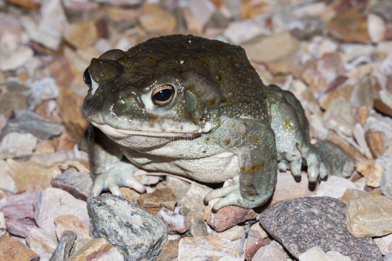 Alvarius Incilius жабы Колорадо, жаба пустыни Sonoran, psychoactive жаба найденная в северной Мексике стоковые фото