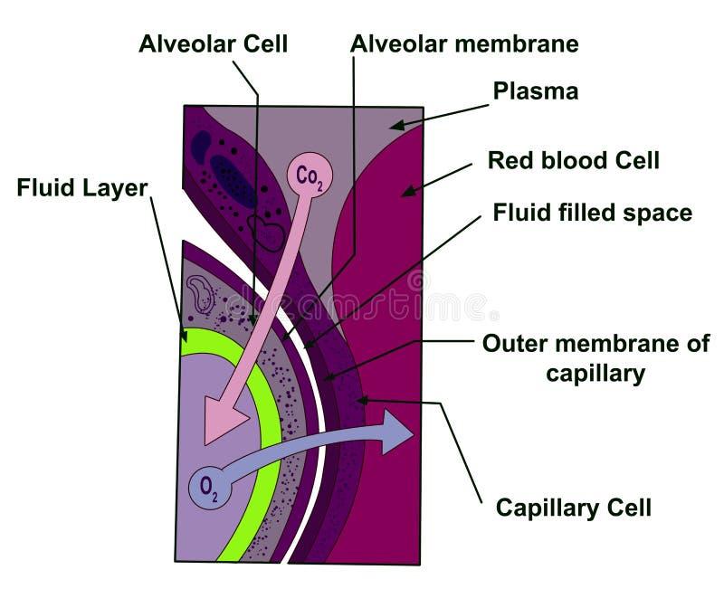Alveolare Zelle vektor abbildung