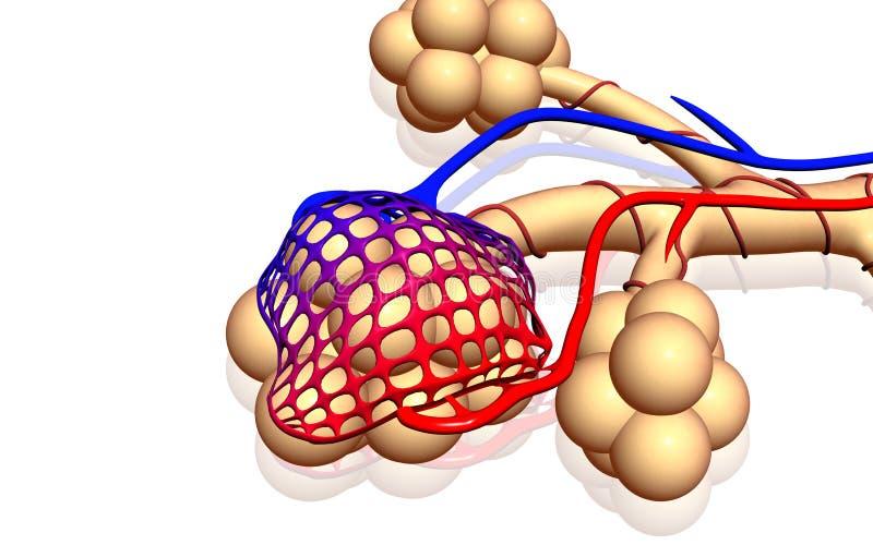 Alveolen vector illustratie