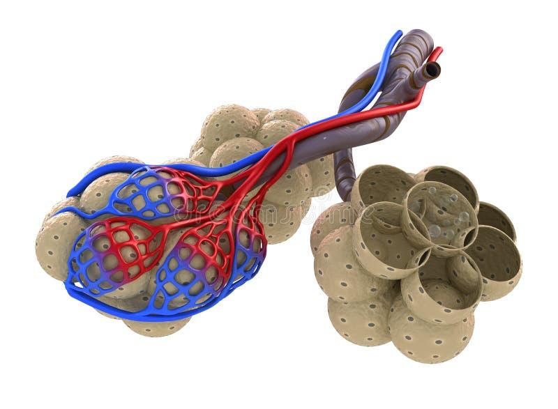 Alveolen in den Lungen - Blut, das durch Sauerstoff sättigt vektor abbildung