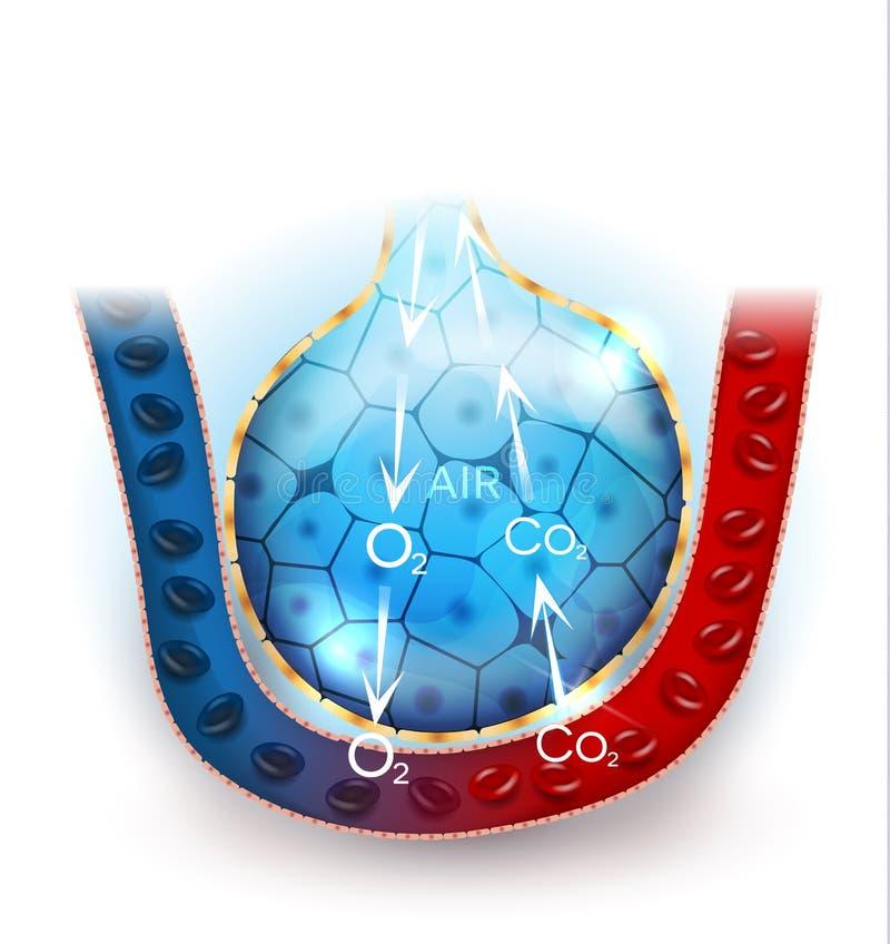 Alveolenademhaling stock illustratie
