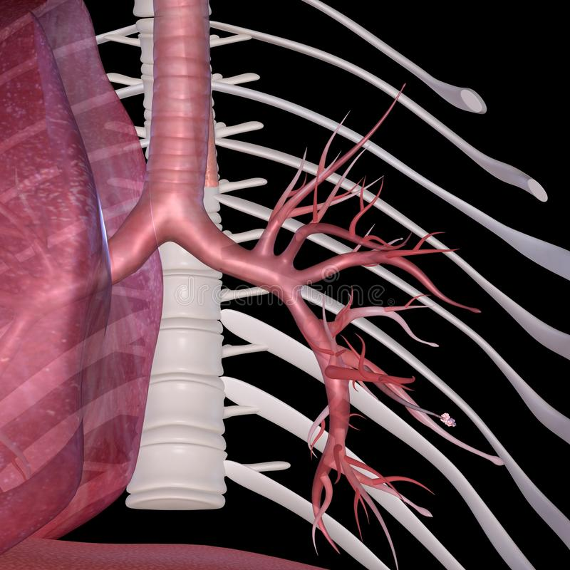 alveoler vektor illustrationer