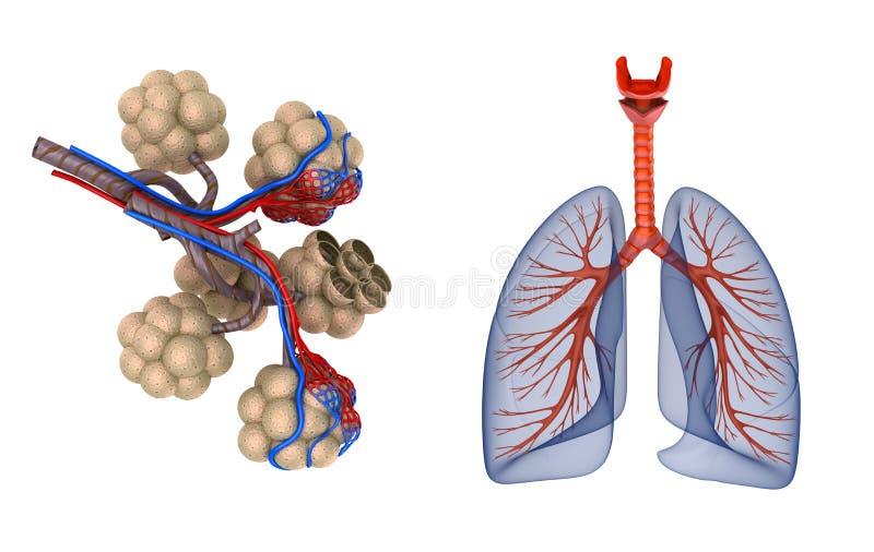 Alveoler i lungor - ge första erfarenhet att genomdränka vid syre royaltyfri illustrationer