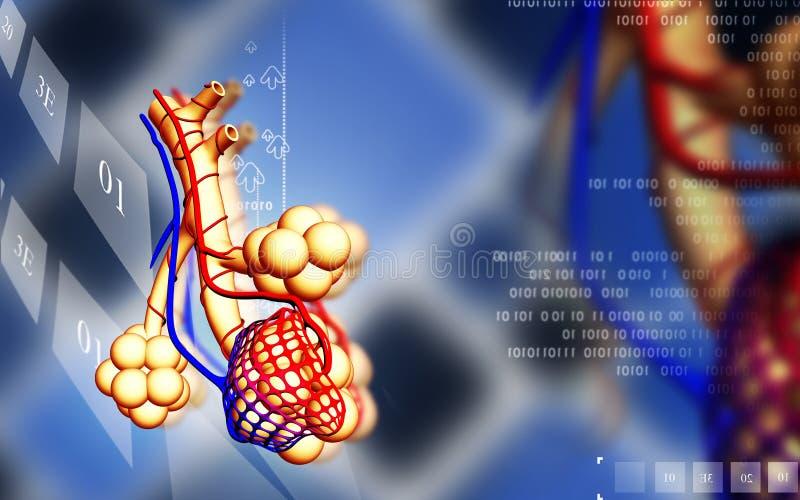 alveoli ilustração do vetor