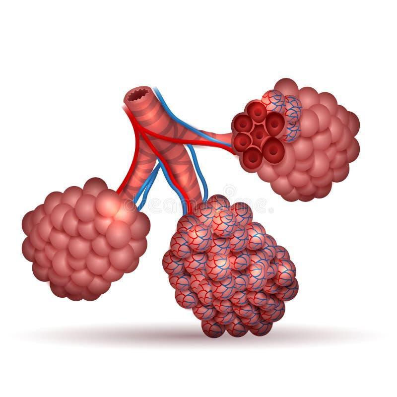 alveoli royalty ilustracja