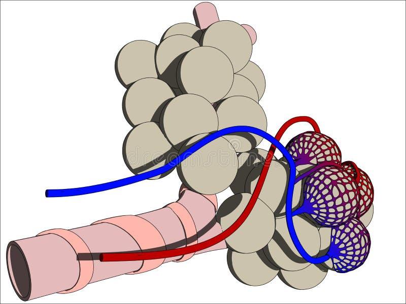 alveoli ilustracja wektor