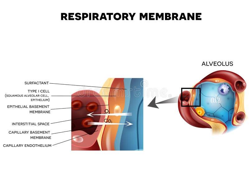 Alveolus i Oddechowa błona ilustracji