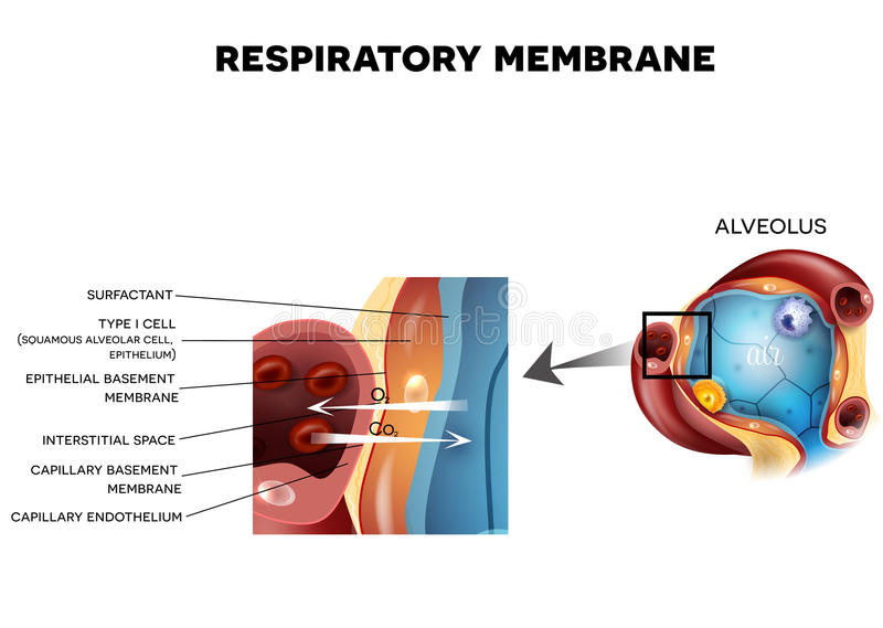 Alveolus And Respiratory Membrane Stock Vector Illustration Of