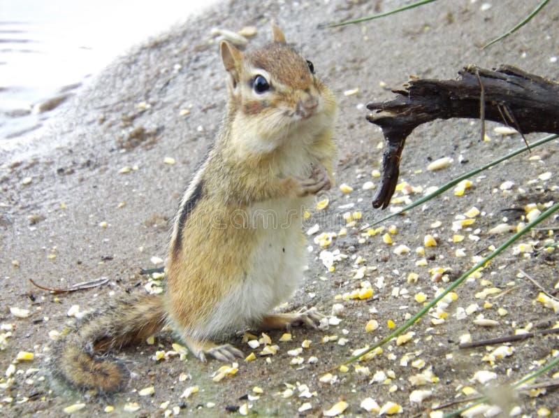 Alvin das Streifenhörnchen lizenzfreie stockfotos