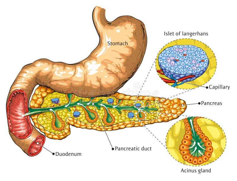 Alvleesklier en maag vector illustratie