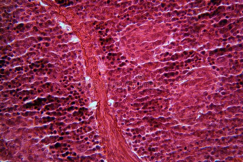 Alvleeskliercellen onder de Microscoop stock foto's