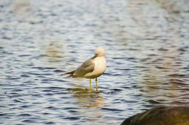 Alvo de espera do pássaro da gaivota em uma pedra em um banco de um lago em um destino bonito do dia em Europa do Norte foto de stock