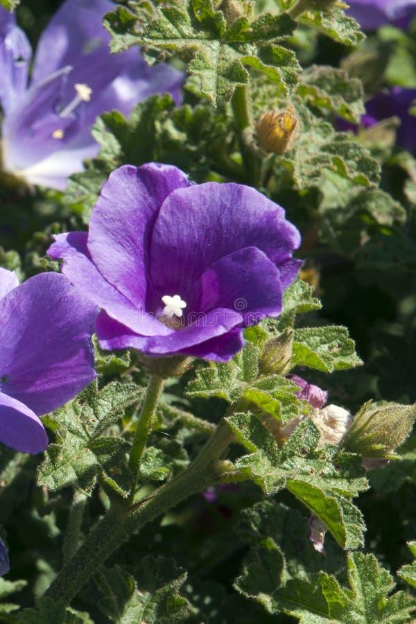 Alyogyne fleurissant pourpre également connu sous le nom de ketmie lilas photos libres de droits
