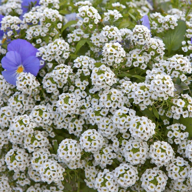 An Alyssum Big Gem White Brilliant With Blue Violet As A Decoration ...