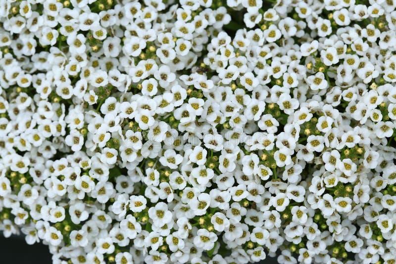 Alyssum blanc photographie stock libre de droits