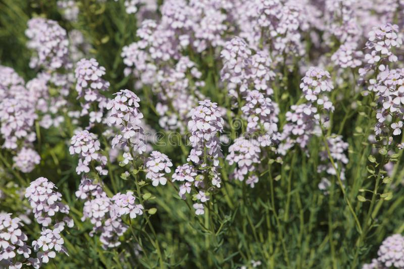 Alyssum flowering close up royalty free stock images