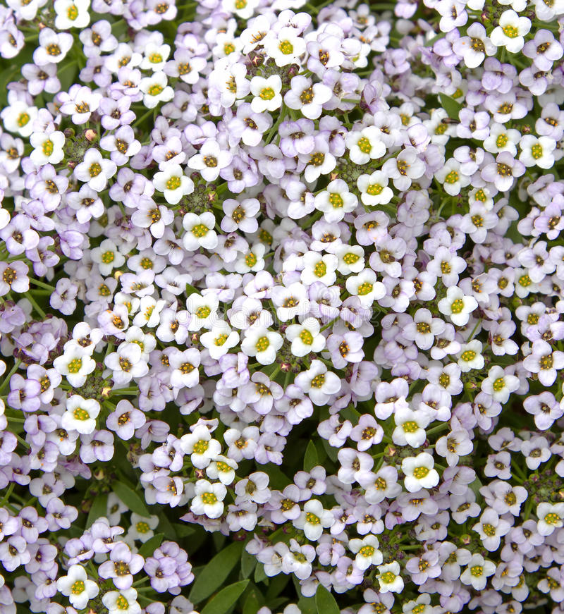 Alyssum flowers royalty free stock photography