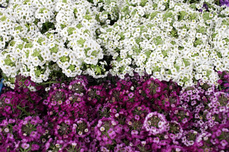 Alyssum. Alyssum flowers from family  Brassicaceae. The genera Lobularia and Aurinia are closely related to Alyssum. Floral patter stock photography