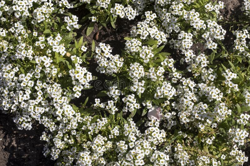 Alyssum low growing annual flowering plants with very branched stems containing dense clusters of small sweet smelling stock image