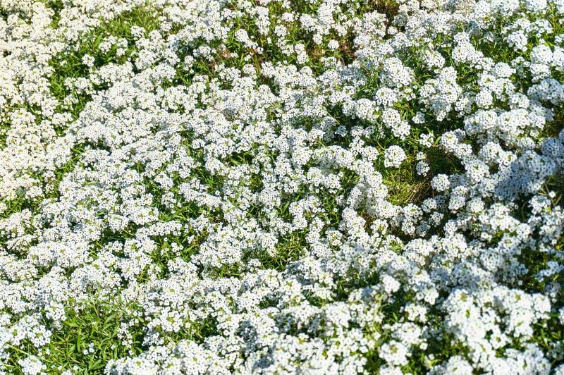 Alyssum ou tapete do fundo da flor da neve imagem de stock