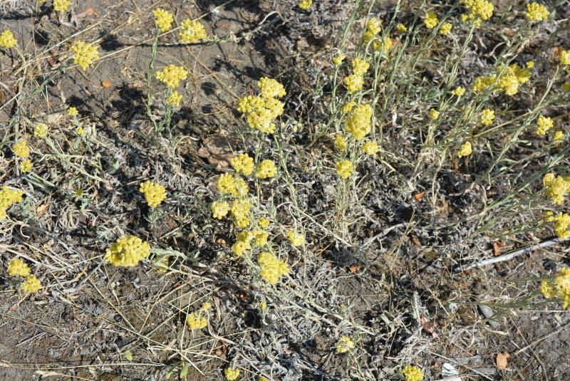 Alyssumgymnopodumen, brassicaceaen, alyssumcretaceum är den mycket härliga medicinalväxten med delikata gula blommor och buketter fotografering för bildbyråer