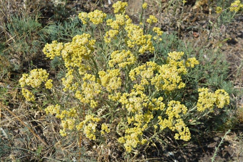 Alyssumgymnopodumen, brassicaceaen, alyssumcretaceum är den mycket härliga medicinalväxten med delikata gula blommor och buketter arkivbilder