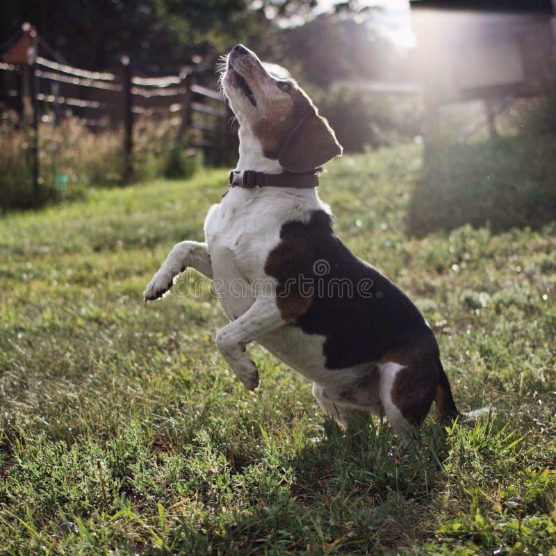 Alzar el beagle foto de archivo libre de regalías