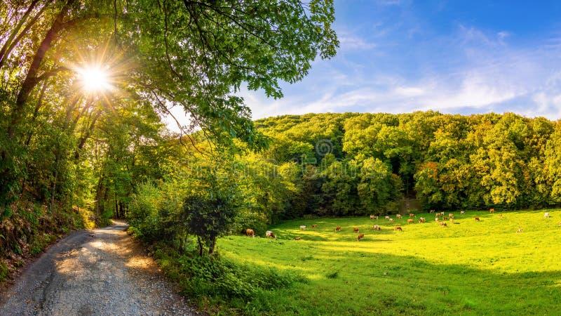Aménagez en parc avec avec des vaches sur un pré et une forêt à l'arrière-plan photos stock
